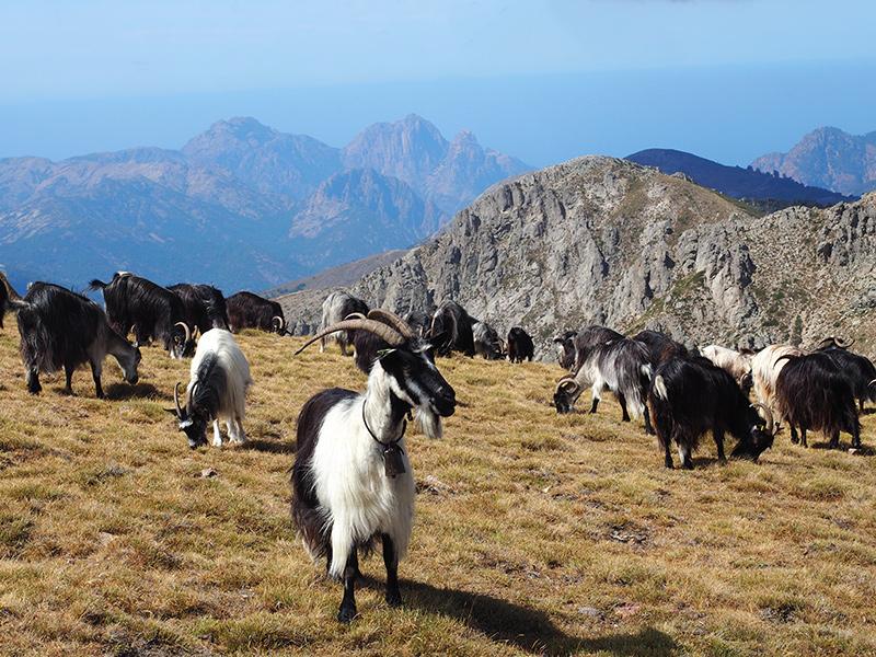 Korsika Wandern auf dem GR20 - Bergziegen